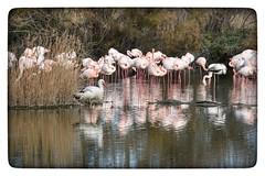 Chercher l'intrus 😉 (jmollien) Tags: flamant flamingo camargue étang marais oiseaux rose nature cigogne reflets reflections reflecting
