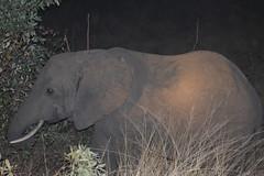 Elephant at Night (Rckr88) Tags: krugernationalpark southafrica kruger national park south africa elephantatnight