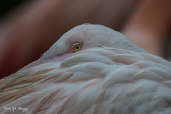 Flamingo (BorvanGool_Photography) Tags: burgerszoo dierentuin zoo flamingo