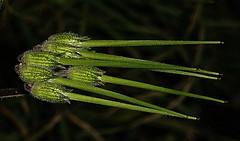 Plant (macro) (Jocarlo) Tags: flickraward flickrstruereflection1 flickrphotowalk flickr fotografía fotografias fotos flora flor flower flores flowers nature natura natur naturaleza makro makros macro macros macrophotographers macrofotografía macrofotografie macrography macrophotography macrophotografer afotando bosque parques parque crazygeniuses crazygenius creative creativa creativeartphotography planta plantas plant plants fleur jocarlo melilla ngc colour sony rx100m5 rx rx100 sonyrx100m5 sonyrx sonyrx100
