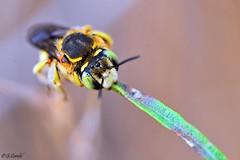 Anthidium (g.cordel) Tags: macro abeille bee insecte insect anthidium nikon
