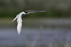 To EverythingTernTern2DSsmaller (2) (Rich Mayer Photography) Tags: tern terns bird birds animal animals nature fly flying flight wild life wildlife nikon