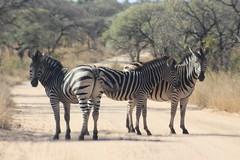 Zebra Crossing (Rckr88) Tags: krugernationalpark southafrica kruger national park south africa zebra crossing zebracrossing zebras animals animal road rocks nature naturalworld outdoors travel travelling