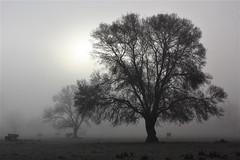 Amaneciendo entre la niebla (Deniel T) Tags: moralzarzal fresno niebla dehesa amanecer madrid