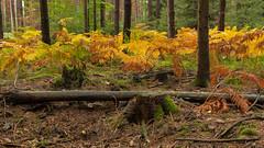 Unser Wald  (27) (berndtolksdorf1) Tags: deutschland thüringen wald bäume farn jahreszeit herbst autumn farben outdoor