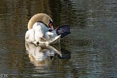 Hoe moeilijk kan het zijn/How hard can it be. (truus1949) Tags: vogels zwaan wassen pose