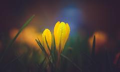 Hello Spring (Dhina A) Tags: sony a7rii ilce7rm2 a7r2 a7r malik triolam 100mm f29 france anastigmat 29 maliktriolamfranceanastigmat100mmf29 slide projection projector lens french manualfocus bokeh hello spring season welcome crocus flower