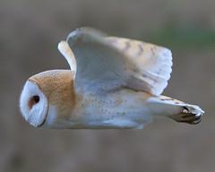 Barn Owl hunting. (jdoakey) Tags: barnowl bif wings flying bird animal flight eye face hunting sony 200600 a6400 sonya6400 sony200600 mornung meadow talons strumpshaw fen strumpshawfen rspb