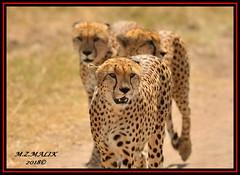 GROUP OF CHEETAHS (Acinonyx jubatus).....MASAI MARA....SEPT, 2018. (M Z Malik) Tags: nikon d3x 200400mm14afs kenya africa safari wildlife masaimara keekoroklodge exoticafricanwildlife exoticafricancats flickrbigcats cheetah acinonyxjubatus ngc
