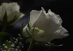 birthday bouquet (Slávka K) Tags: rose white dark evening drops droplets macro flower bokeh myday birthday january romantic light stilllife 2020 bouquet