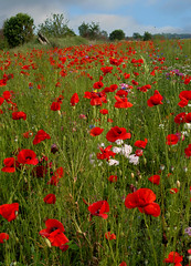 Field of Poppies (lad49) Tags: poppies flowers red bluesky blue green nature landscape
