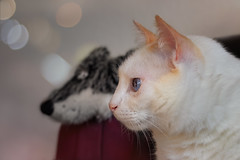 Profiles (FocusPocus Photography) Tags: filou katze kater cat white weis spielzeug toy happycaturday tier animal proil profile profileview