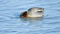 Teal (hedgehoggarden1) Tags: teal duck wildfowl birds waterbird sonycybershot bird titchwell rspb norfolk eastanglia uk sony