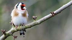 Chardonneret élégant 1 - Goldfinch - Stieglitz (Nicopope) Tags: chardonneret goldfinch stieglitz carduelis oiseaux oiseau fringillidés vögel vogel vogels branche nikon nature wildlife fantasticnature