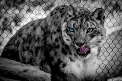snow leopard stare (Pejasar) Tags: snowleopard tulsa zoo oklahoma tongue blueeyes hungry lickinghischops blackandwhite colorspots bw paintcreations painterly art artistic zoosofnorthamerica