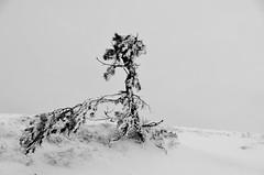 Forme diforme  -  Shape diform (Philippe Haumesser (+ 9000 000 view)) Tags: nature paysage paysages landscape landscapes montagne montagnes mountain mountains arbre tree hiver winter ciel sky vosges alsace elsass hautrhin 68 france nikond7000 nikon d7000 reflex 2020 panorama neige snow nuages clouds noiretblanc blackandwhite monochrome arbuste