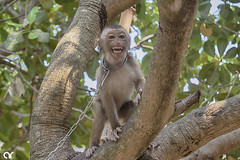 Chained Monkey (AR's Photography) Tags: monkey happy nature tree chained animals wild wildanimal nikond5200 travel leaves tayninh núibàđen blackvirginmountain vietnam asia