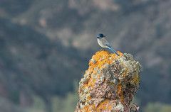 Western Scrub Jay (tvalenti17) Tags: pinnacles