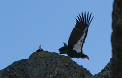 Condor Purple 692 (tvalenti17) Tags: pinnacles birdbest