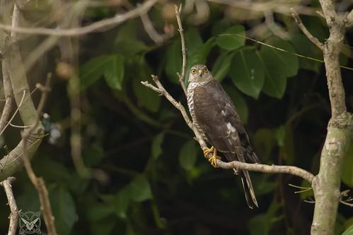 Accipiter nisus, Sparviero, Épervier, Sparrowhawk