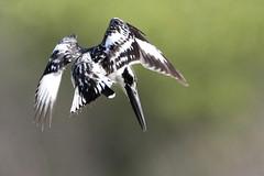 Pied Kingfisher-7D2_8937-001 (cherrytree54) Tags: canon7dmkii sigma 150600 gambia kotu bridge pied kingfisher