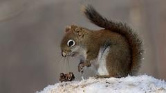 Ecureuil roux nord-américain / Tamiasciurus hudsonicus / North American Red Squirrel (Laval Roy) Tags: quebec mammals mammifères rongeurs sciuridés northamericanredsquirrel écureuilrouxnordaméricain tamiasciurushudsonicus écureuilroux redsquirrel comtédelotbinière pointeplaton lavalroy hiver saisonhivernale