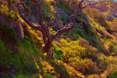 Hanging In There (Christina's World :) Tags: landscape tree nature naturepreserve natureabstract naturallight artistic brightcolors california colorful colors dramatic exhibitionoftalent fragiletouch green gold grasses plants cliffs january 2020 kurtpeiser light mood morninglight morning neighborhood outdoors sandiego scenic sidelight sidelighting topaz textures trees unitedstates usa vegetation vividcolors view woods yellowflowers yellow 4964 torreypinesnaturepreserve torreypines pinetree exquisiteimagery topclass oe