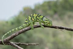 Flap-necked Chameleon (Tris Enticknap) Tags: africa masaimara chameleon kenya lizard reptiles flapneckedchameleon masaimaranationalreserve chamaeleodilepis