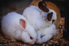 Rabbit (paheg2) Tags: love cute portrait p photography photo me romance animal mother funny blue bird baba lens kids 50lens children canon