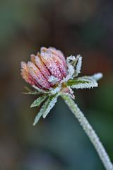 Blanketflower (pstenzel71) Tags: blumen natur pflanzen blanketflower kokardenblume gaillardia gaillardiapulchella darktable flower bokeh frost frozen ice eis winter ilce7rm3 sel90m28g
