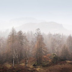 Holme Fell 2 (willblakeymilner) Tags: nikon cumbria mist winter trees larch birch mountains hills fells nature beautiful colourful bracken england uk