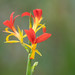 wild Canna lily flowers