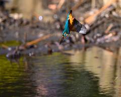 Kingfisher (shinichiro*@Hokkaido-until0217) Tags: 町田市 東京都 日本 20200110ds21262 2020 crazyshin nikonz6 z6 ftz sigma150600mmf563dgoshsmcontemporary january winter tokyo japan jp 薬師池公園 bird birds sspriority isoauto wmonopod 49474051653 9703526 202002esp