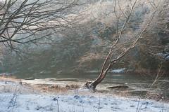 Familiar Tree in Cook Forest (D700) (ssepanus) Tags: sepan nikon d700 pa pennsylvania lightroom cookforest statepark clarionriver tree river seasons winter snow sunlight