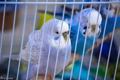 Love-Bird (paheg2) Tags: love cute portrait p photography photo me romance animal mother funny blue bird baba lens kids 50lens children canon
