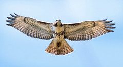 Red-Tailed Hawk...Overhead (Vidterry) Tags: hawk redtailedhawk cedarlake