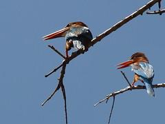 Smyrna Kingfishers - Sri Lanka (CosmoClick) Tags: birds vogels kingfisher ijsvogels srilanka wow smyrna