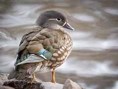 Photo of Female Mandarin