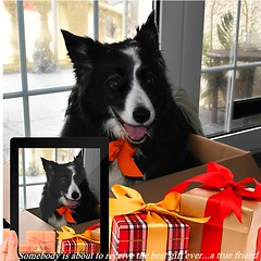 The Best Gift of all... (ashaconnie) Tags: gift present inspirational quote funny border collie best friend ashathestarofcountydown connie kells county down photography