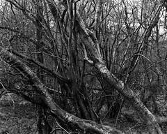 Hyons Wood, Walker Titan SF with Rodenstock Geronar 300mm f9, HP5+ in Ultrafin (Jonathan Carr) Tags: ancient woodland blackandwhite monochrome rural northeast largeformat 4x5 landscape walkertitansf hyonswood hp5