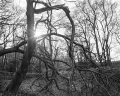 Hyons Wood, Walker Titan SF with Rodenstock Sironar N 150mm f5.6, HP5+ in Ultrafin (Jonathan Carr) Tags: ancient woodland blackandwhite monochrome rural northeast largeformat 4x5 landscape walkertitansf hyonswood hp5