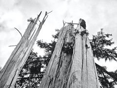 """Struck Down"" (Halvorsong) Tags: blackwhite blackandwhitephotography electricity forest lightning lightningdamage nature naturephotography oregon trees weather wilderness bw blackandwhite composition monochrome halvorsong usa projectamerica explore discover sky tree art storm storms"