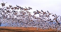 Snow Geese (B. Gohacki) Tags: snowgeese goose snow bird migration pennsylvania rural swarm flock kleinfeltersville fowl game pentax ricoh k1 sigma 50500mm bigma ex dg ornithology middle creek waterfowl chencaerulescens honk flight takeoff liftoff nature animals birds avian lll