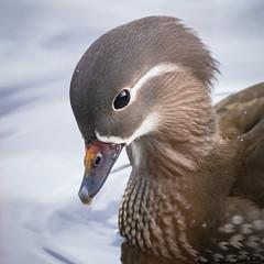 Photo of Mandarin Duck, Female