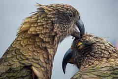 Preening Kea (fate atc) Tags: arthurspass bird kea mountainparrot nz newzealand southisland affection beak cheeky couple endangered intelligent preening tongue wildlife