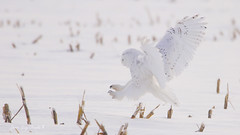 Harfang des neiges:  Snowy Owl. (jean-guy Proulx) Tags: harfangdesneiges snowyowl oiseaux birds coth5 nature animals jeanguyproulx canoneos80d animal