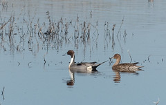 Northern PIntail (Sandy Steinman) Tags: birds wildlife sacramentonationalwildliferefugenorthern pintail