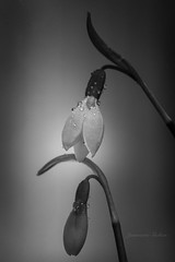 Snow Drops (jeanmarie's photography) Tags: flower blackandwhite bulb mono moody nature nikon macro white flora jeanmarieshelton light lightroom