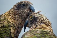Preening Kea lll (fate atc) Tags: arthurspass bird kea mountainparrot nz newzealand southisland affection beak cheeky couple endangered intelligent preening tongue wildlife