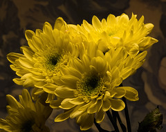 Yellow Mums 1104 (Tjerger) Tags: nature flower flowers bloom blooms blooming plant natural flora floral portrait beautiful beauty green fall wisconsin macro closeup yellow group bunch blue mums darkbackground mum